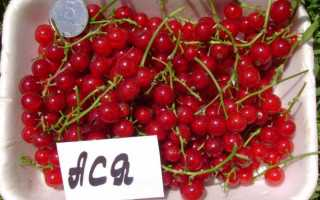 Красная смородина Ася: описание сорта с фото, отзывы, размер и вкусовые качества ягод