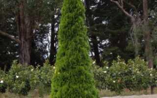 Туя западная Фастигиата (Thuja occidentalis Fastigiata): описание с фото, посадка и уход, использование в ландшафтном дизайне