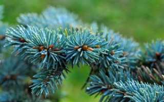 Посадка и уход за голубой елью: как и когда посадить саженцы, полив и подкормка, правильное выращивание