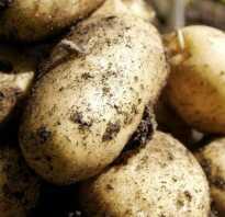 Картофель сорта Чайка: характеристика, особенности выращивания и ухода за посадками, фото