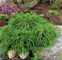 Кипарисовик горохоплодный Филифера Ауреа Нана (Chamaecyparis pisifera Filifera Aurea Nanа): описание и фото, размеры растения