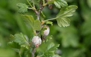 Чем, как и когда обработать крыжовник от белого налёта на ягодах: препараты, способы, причины появления белого налёта