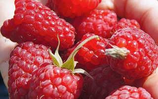 Малина Исполин: описание сорта, преимущества и недостатки, урожайность, фото
