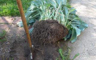 Пересадка вейгелы: когда лучше пересаживать (летом, осенью или весной), как пересадить взрослое растение с одного места на другое