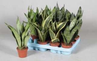 Сансевиерия трёхполосная: уход в домашних условиях, фото, размножение, цветение