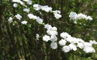Спирея сливолистная махровая Плена (spiraea prunifolia): фото и описание