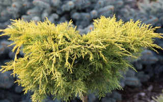 Можжевельник средний Кинг оф Спринг (Juniperus pfitzeriana King of Spring): описание и фото, использование в ландшафтном дизайне