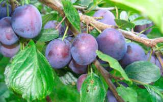 Слива Машенька: описание и подробная характеристика, агротехника выращивания и ухода, фото