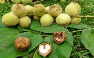 Как посадить маньчжурский орех: фото и описание правильной посадки в домашних условиях