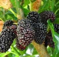 Тутовник (шелковица): посадка весной саженцами и семенами, тонкости ухода за растением