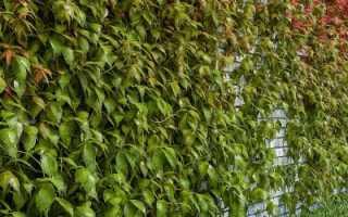 Размножение девичьего винограда (черенками, отводками, семенами): особенности, последующий уход, видео