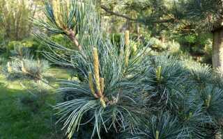 Сосна мелкоцветковая Негиши (Pinus parviflora Negishi): описание и фото сорта, морозостойкость дерева, использование в ландшафтном дизайне