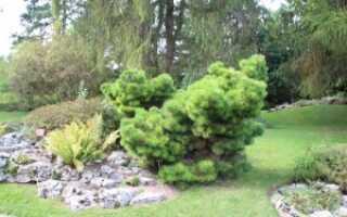 Сосна чёрная Нана (Pinus nigra Nana), фото и описание