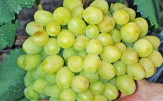 Виноград Кеша: описание и характеристика сорта с фото, выращивание и уход, видео