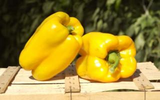 Перец Белое золото: характеристика и описание сорта, фото, урожайность, выращивание и уход