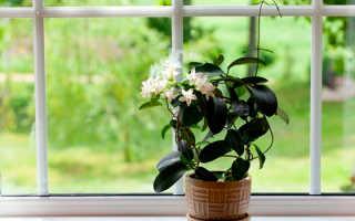Мадагаскарский жасмин (стефанотис): ботанические особенности, уход и размножение
