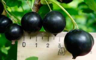 Поздний сорт чёрной смородины Чернавка: внешний вид, особенности и описание сорта, фото, отзывы