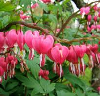 Дицентра великолепная (или Разбитое сердце): популярные сорта растения, посадка и уход в открытом грунте, фото