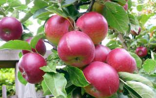 Подкормка яблонь: как удобрять в разное время года, какие удобрения лучше использовать
