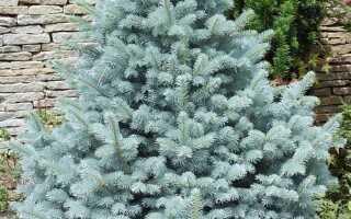 Ель колючая Маджестик Блю (Picea pungens Glauca Majestic Blue): описание, использование в ландшафтном дизайне, посадка и уход за деревом