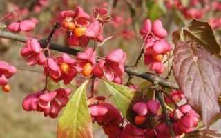Бересклет европейский: фото в ландшафтном дизайне, посадка декоративных деревьев и кустарников и уход за ними, описание плодов