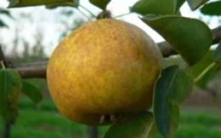 Груша бергамот: описание и характеристики, особенности сортов, выращивание и уход, фото