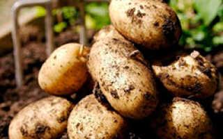 Как посадить картофель зимой в теплице: выращивание, урожайность, технология выращивания