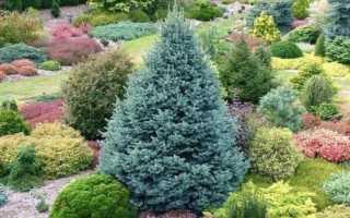 Пихта субальпийская Компакта (Abies lasiocarpa Compacta): описание и фото горного дерева, посадка и уход, использование в ландшафтном дизайне