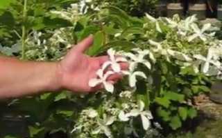 Гортензия метельчатая сорта Грейт Стар (Hydrangea paniculata Great Star): описание и фото, применение в ландшафтном дизайне