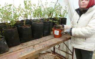 Лучшие сорта голубики для Ленинградской области с фото и описанием, агротехника выращивания
