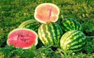 Арбуз Топ Ган: описание и характеристика, особенности выращивания и ухода, правила хранения урожая, фото