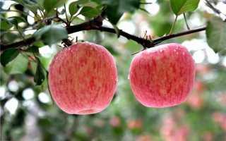 Яблоня Фуджи: характеристики и описание сорта, особенности посадки и ухода за деревом, фото