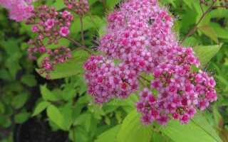 Спирея японская Макрофилла, или Крупнолистная (spiraea Macrophylla) в ландшафтном дизайне: фото и описание, обрезка