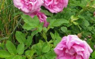 Роза Ругоза: фото, описание, посадка и уход, обрезка, сорта и гибриды