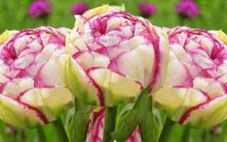 Тюльпан Йеллоу Помпонет (Yellow Pomponette): описание и фото растения, его особенности выращивания, использование в ландшафтном дизайне