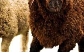 Каракульская овца — древнейшая порода: основные характеристики, достоинства и недостатки, фото