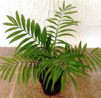 Хамедорея бридбл: описание растения, особенности ухода и посадки в домашних условиях, пересадка после покупки, фото