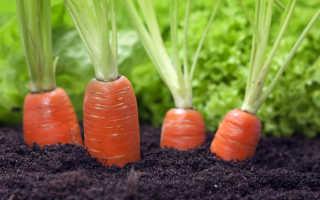 Морковь Лосиноостровская: описание и характеристика сорта, выращивание и уход, фото, отзывы