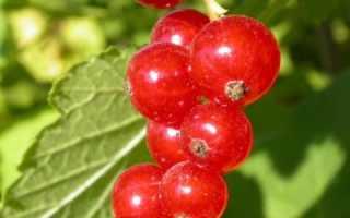 Ранний сорт красной смородины Розетта: описание и внешний вид сорта, фото