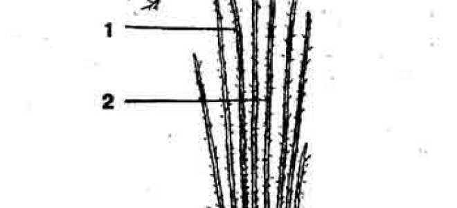 Обрезка шиповника: как правильно обрезать весной, формирование куста