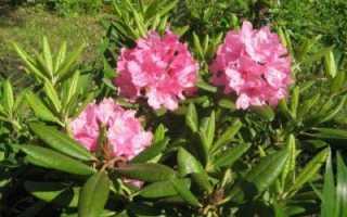 Рододендрон гибридный P.J.M. Elite (ПЖМ Элит каролинский): фото и описание сорта, использование в ландшафтном дизайне