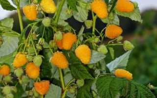 Малина сорта Золотая осень: описание сорта, преимущества и недостатки, уход, урожайность, фото