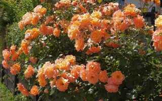 Роза парковая «Вестерленд»: фото и описание, посадка и уход, обрезка