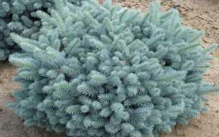 Ель колючая Глаука Аризона/Кейбаб (Picea pungens Glauca Arizonica/Kaibab): описание и фото, посадка и уход