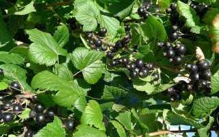 Смородина Обыкновенное чудо: описание сорта чёрной смородины с фото, саженцы