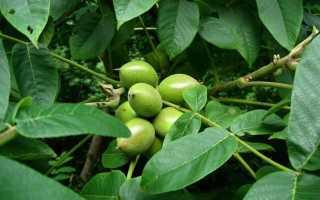 Орех Зибольда, или айлантолистный: фото, описание, урожайность сорта, плюсы и минусы, среда обитания