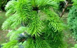 Пихта Нордмана (Abies nordmanniana): описание и характеристика вида с фото, посадка и уход за деревом, популярные сорта, скорость роста