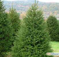 В чём разница между елью и ёлкой, это разные деревья или нет, как отличить, фото