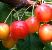 Черешня Франц Иосиф: описание и характеристика сорта, выращивание и уход, фото
