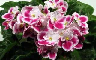 Фиалка «Оптимара»: фото и описание, сорта, выращивание и уход в домашних условиях